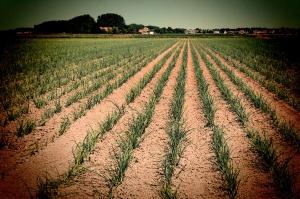 onion growers